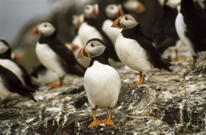 Farne Island Puffins